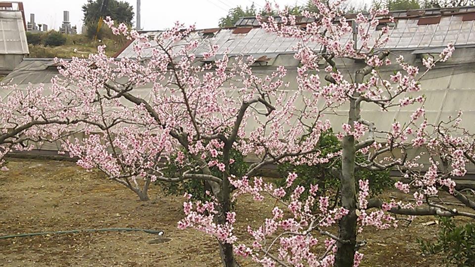Pink Japan???